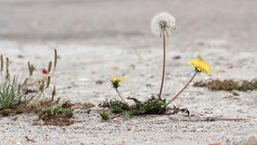 Un singolo e dente di leone perfetto in piena fioritura che ondeggia delicatamente nel vento accanto a due fiori gialli archivi video