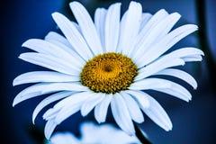 Un singolo fiore bianco e giallo con un fondo bluastro fotografia stock libera da diritti