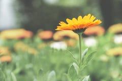 Un singolo fiore con i petali arancio vibranti sta fuori da un fondo sbiadito immagini stock