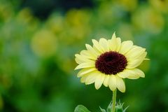 Un singolo fiore del girasole in giardino botanico immagini stock libere da diritti