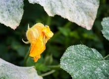 Un singolo fiore della zucca circondato dalle foglie Immagini Stock