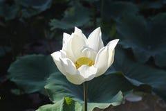Un singolo fiore di loto bianco Fotografia Stock