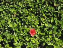 Un singolo fiore rosso si sviluppa dalle foglie verdi Fotografie Stock Libere da Diritti