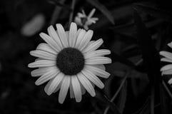 Un singolo girasole in in bianco e nero fotografie stock libere da diritti