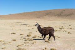 Un singolo lama sull'altopiano andino in Bolivia Fotografie Stock Libere da Diritti