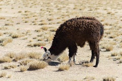 Un singolo lama sull'altopiano andino in Bolivia Immagine Stock