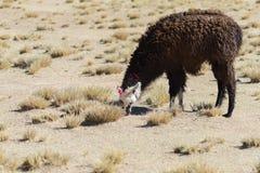 Un singolo lama sull'altopiano andino in Bolivia Immagine Stock Libera da Diritti