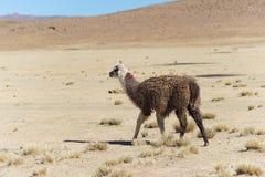 Un singolo lama sull'altopiano andino in Bolivia Immagini Stock