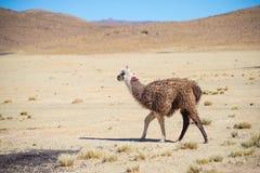 Un singolo lama sull'altopiano andino in Bolivia Galoppare animale adulto nella terra del deserto Vista laterale Fotografie Stock Libere da Diritti