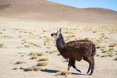 Un singolo lama sull'altopiano andino in Bolivia Galoppare animale adulto nella terra del deserto Vista laterale Fotografia Stock Libera da Diritti