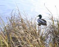 Un singolo maschio su un lago Fotografia Stock