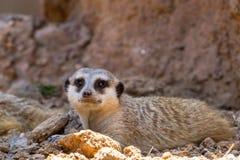 Un singolo Meerkat o Suricate che prende un resto nella tonalità Immagini Stock Libere da Diritti
