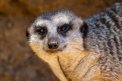 Un singolo Meerkat o Suricate con uno sguardo curioso Immagini Stock