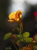 Un singolo nasturzio giallo, cantante alla luce di sera Fotografia Stock Libera da Diritti