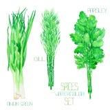 Un sistema con las especias de la acuarela: paquetes del verde de la cebolla, eneldo, perejil, cilantro Fotografía de archivo libre de regalías
