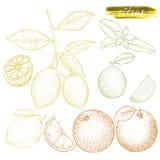 Un sistema de agrios: naranjas, limones, y cal Ha dibujada mano ilustración del vector