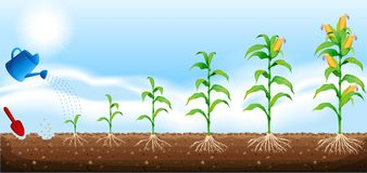 Un sistema de desarrollo del maíz stock de ilustración