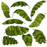 Un sistema de exótico, brillantemente hojas del plátano del verde, aisladas en un fondo blanco imagenes de archivo