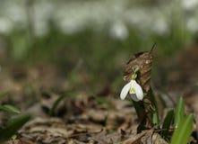 Un snowdrop con el vestido de la hoja en bosque soleado de la primavera imagenes de archivo