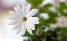 Un sogno del fiore bianco Immagini Stock