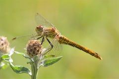 Un sole della libellula di Ruddy Darter di mattina fotografia stock libera da diritti