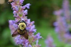 Un solitario manosea la abeja que descansa sobre un flor púrpura del salvia Foto de archivo