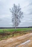 Un solo árbol de abedul Imagenes de archivo