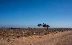 Un solo árbol formó por el viento comercial en el postre Fotografía de archivo