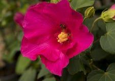 Un solo hibisco rojo florece con una abeja de la miel en luz del sol brillante Imagenes de archivo