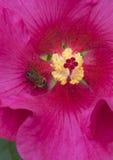 Un solo hibisco rojo florece con una abeja de la miel en luz del sol brillante Fotos de archivo libres de regalías