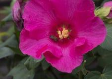 Un solo hibisco rojo florece con una abeja de la miel en luz del sol brillante Imágenes de archivo libres de regalías
