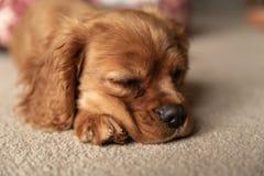 Un solo perrito arrogante de rubíes de rey Charles Spaniel fotografía de archivo