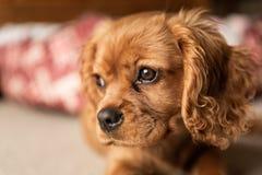 Un solo perrito arrogante de rubíes de rey Charles Spaniel imagenes de archivo