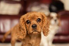 Un solo perrito arrogante de rubíes de rey Charles Spaniel fotos de archivo libres de regalías