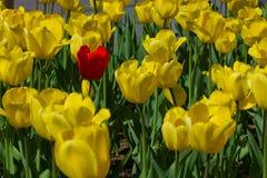 Un solo tulipán rojo Imágenes de archivo libres de regalías