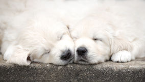 Un sonno adorabile di due cuccioli di golden retriever Fotografia Stock Libera da Diritti