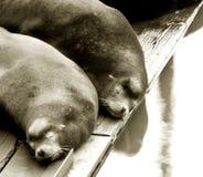 Un sonno dei due leoni di mare Fotografia Stock Libera da Diritti