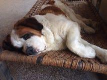 Un sonno del cane Fotografie Stock