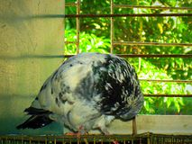 Un sonno dell'uccello del piccione immagini stock libere da diritti