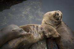 Un sonno di tre leoni marini in un mucchio con acqua nel fondo immagini stock libere da diritti