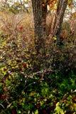 Un soporte de robles crece a través de arbustos gruesos Foto de archivo