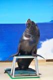 Un soporte del león de mar Imagen de archivo