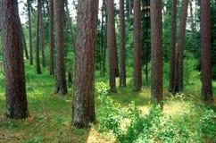 Un soporte del pino rojo de Noruega Imagen de archivo