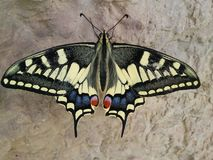 Un soporte grande de la mariposa del tigre en la cascada Fotografía de archivo libre de regalías