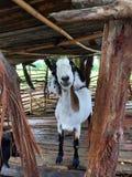 un sorriso dalla capra Fotografie Stock Libere da Diritti