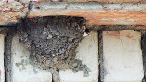 Un sorso alimenta i suoi pulcini nel nido archivi video