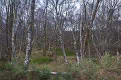 Un soto de los árboles de abedul de plata Betula Pendula Foto de archivo