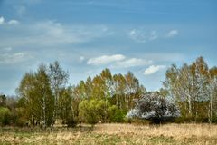 Un soto floreciente del árbol frutal y del abedul en primavera Fotos de archivo
