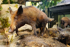 un spécimen de porc Image libre de droits