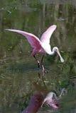 Un Spoonbill rosado en el pantano la Florida del sacacorchos Fotografía de archivo libre de regalías